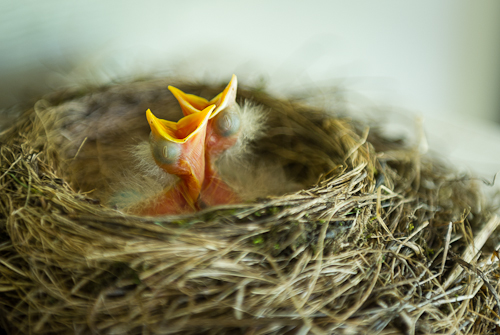 Post image for Baby Robins